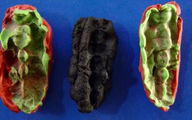 کشف DNA از قدیمی ترین صمغ جویده شده+عکس