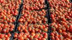 گوجه فرنگی ۳۰ درصد ارزان شد/قیمت به کیلویی ۳ هزارتومان رسید