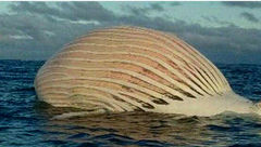 جسد عجیب یک نهنگ وسط دریا! / همه وحشت کردند + عکس باورنکردنی