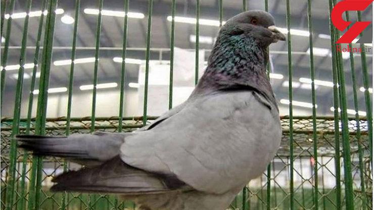 این کبوتر جنجال بزرگی به پا کرد!