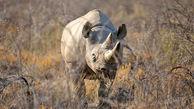 مرگ پیرترین کرگدن دنیا در تانزانیا