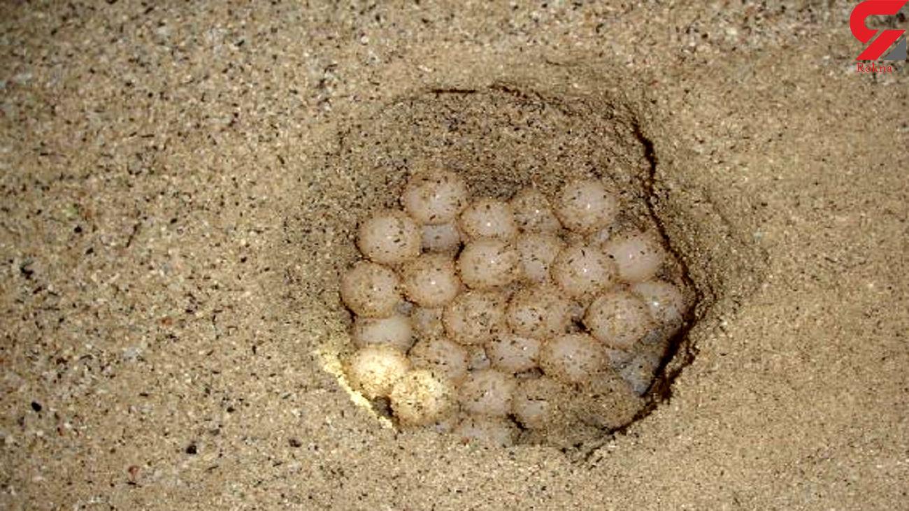 شناسایی متخلفانی که آشیانه تخم لاکپشتها را در بوشهر حفاری میکردند