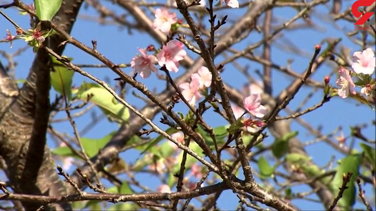 درختان در ژاپن مردم را شوکه کردند + فیلم