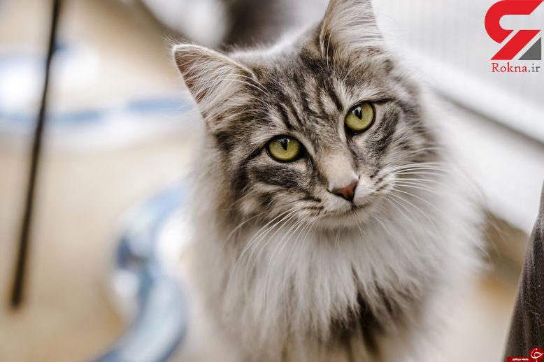 اسراری جالب درباره گربه ها!/ افشای اسرار عجیب و غریب گربه ها!