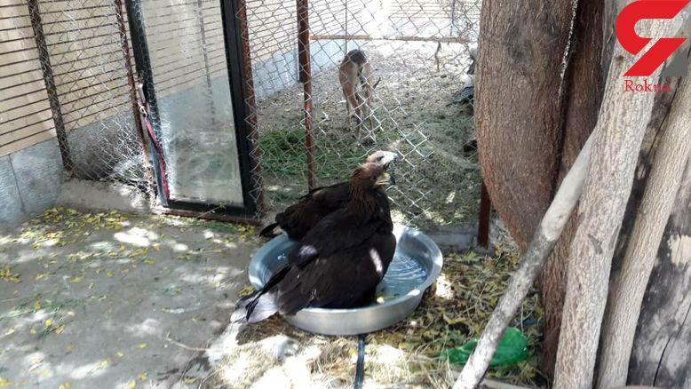 عامل زنده گیری پرندگان شکاری در جیرفت دستگیر شد