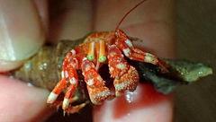 خرچنگی عجیب با چشمان سبز+عکس