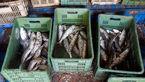 کشف 1500 کیلوگرم صید غیرمجاز در سواحل آبادان