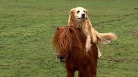 همزیستی و دوستی زیبای یک  اسب پا کوتاه و سگ + فیلم