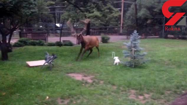دوستی عجیب گوزن و دو توله سگ با هم به عنوان حیوانات خانگی! +فیلم