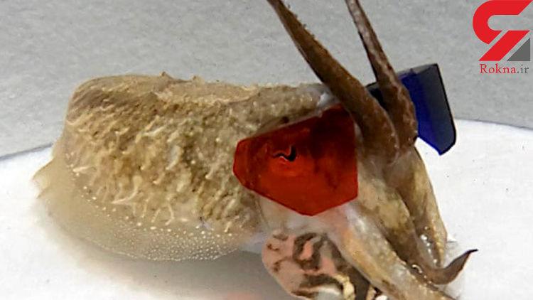 دانشمندان از عینک سهبعدی برای بررسی بینایی ماهی مرکب استفاده کردند
