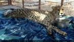 آخرین وضعیت یوزپلنگ ایرانی که در یک حادثه قطع نخاع شد + عکس