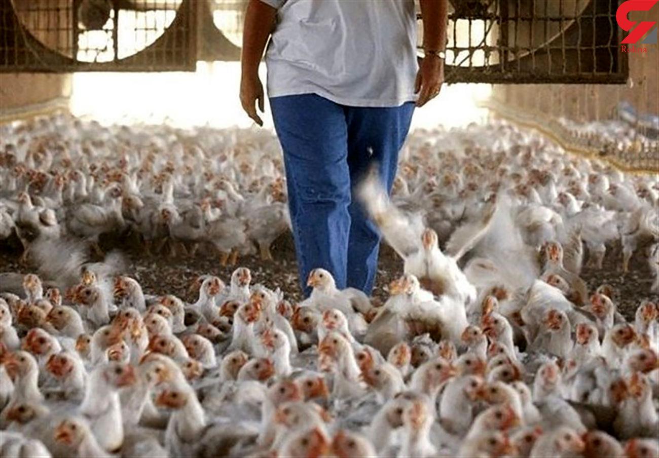 تولید مرغ ظرفیت افزایش ۴۰درصدی دارد