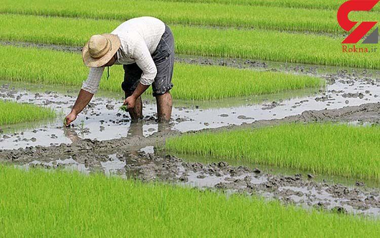 ایران در تولید برنج به خودکفایی رسید
