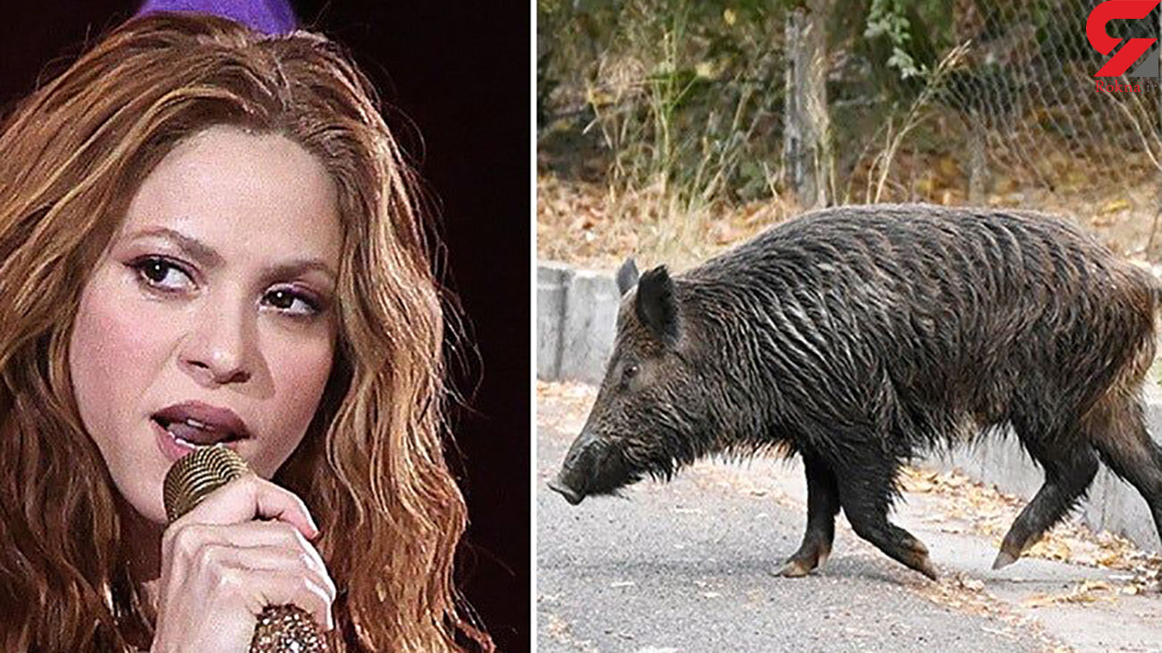حمله گرازها به شکیرا ! + فیلم اتفاق وحشتناک برای همسر ستاره بارسلونا