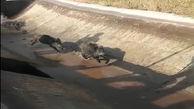 نجات خوکهای وحشی از کانال آبرسانی میانه