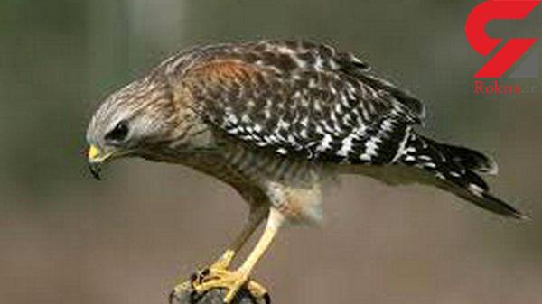 قاچاق پرندگان شکاری گیلان به کشورهای حاشیه خلیج فارس