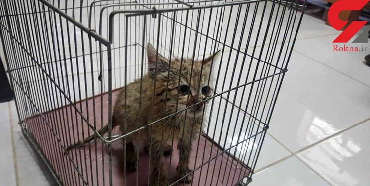 این گربه وحشی روستای بایگان فارس را به هم ریخت! + عکس