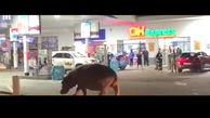 قدم زدن اسب آبی در پمپ بنزین+فیلم