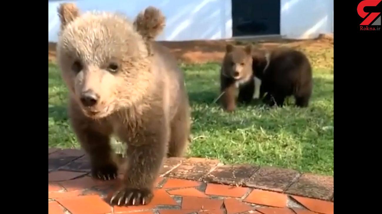 این توله خرس ها به سمت شما می آیند! + فیلم