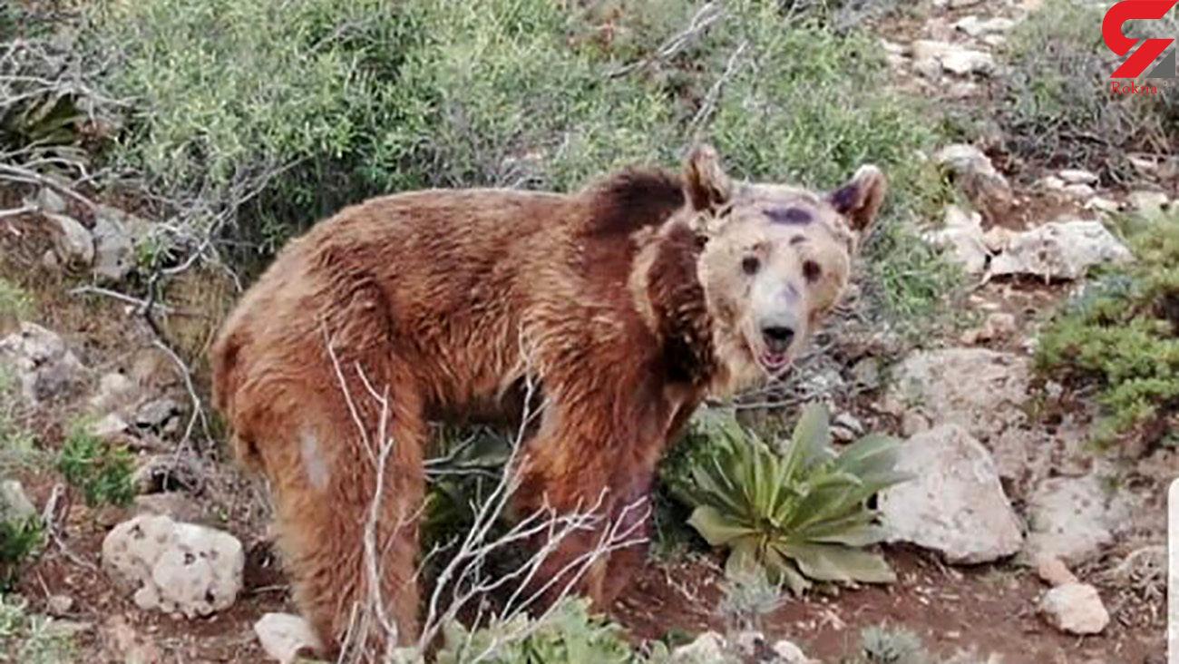 عشایر دهاقان قصد کشتار خرس ها را دارند / آنها می ترسند