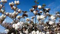 وزیر جهاد کشاورزی: کشور در تولید پنبه ۵۷ درصد خود اتکا است