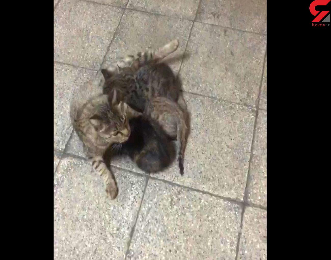 شیر خوردن 3 بچه گربه ایرانی + فیلم