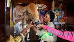 ازدواج بیوه 74 ساله با یک گوساله+تصاویر
