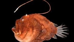 راز نورافشانی ماهی های نورانی کشف شد