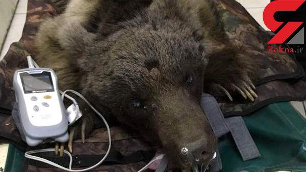 شلیک تیرخلاص به جمجمه  خرس ایرانی در ماسال + عکس ها