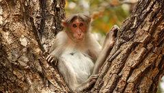 میمونهای ولگرد پیرمرد 72 ساله را در هند کشتند