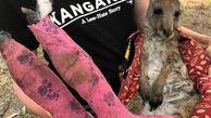 تصویری دردناک از بچه کانگوروی مجروح با باند سوختگی