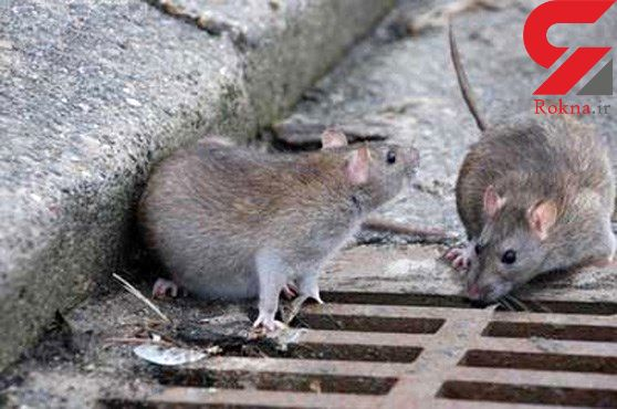شناسایی ۲۲۷۰ سوراخ موش در تهران! / پایتخت در تسخیر موش ها!