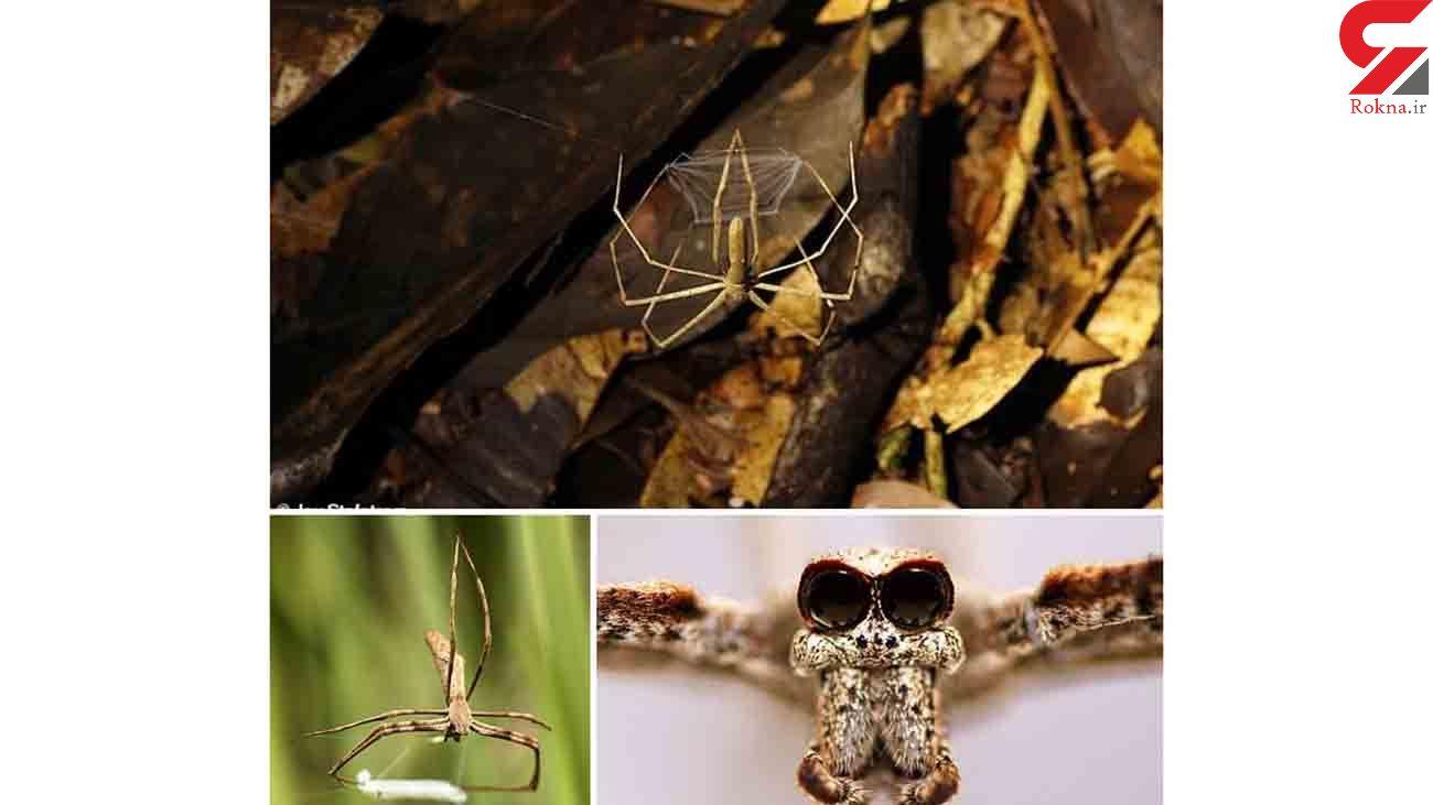 عنکبوتی که سیری ندارد را ببینید + عکس