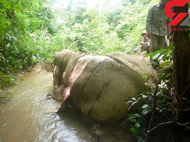 سلاخی بی رحمانه فیل ها